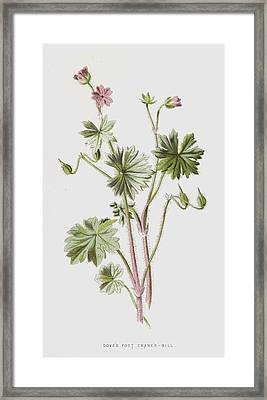 Dove's Foot Crane's-bill Framed Print by Frederick Edward Hulme