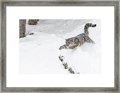 Downhill Racer Framed Print by Wes and Dotty Weber