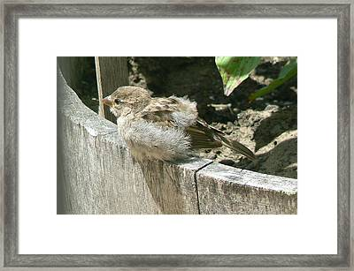 Framed Print featuring the photograph Downy Nestling by Pamela Patch