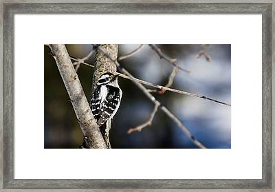 Framed Print featuring the photograph Downy Woodpecker by Dan Traun