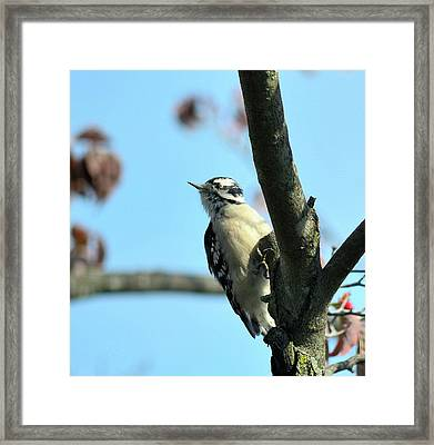Downy Woodpecker Framed Print