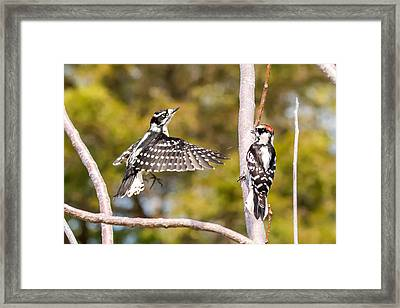Downy Woodpecker Showoff Framed Print