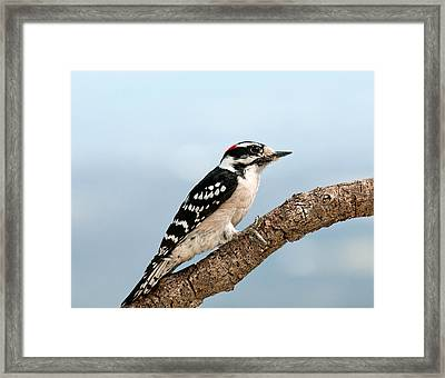 Framed Print featuring the photograph Downy Woodpecker Spring 2016 1 by Lara Ellis