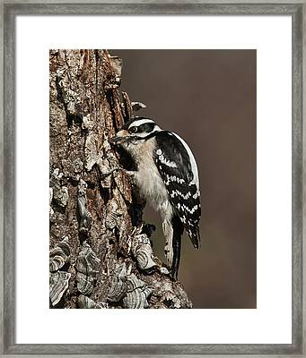 Framed Print featuring the photograph Downy Woodpecker's Secret Stash by Lara Ellis