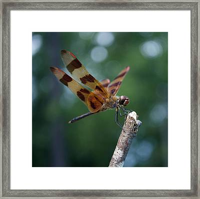 Dragon Fly 8-2 Framed Print by Skip Willits