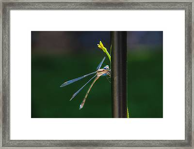 Dragon Fly Framed Print