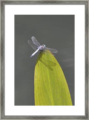 Dragon Fly Framed Print by Linda Geiger