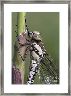 Dragon Fly Framed Print by Michal Boubin