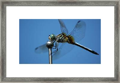 Dragonfly 1 Framed Print