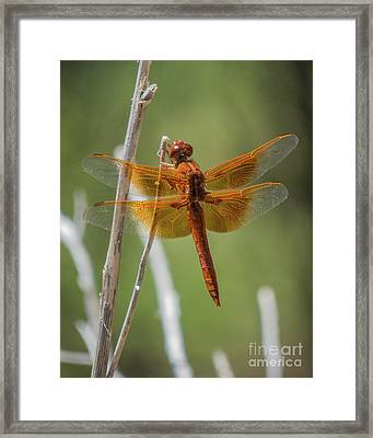 Dragonfly 10 Framed Print