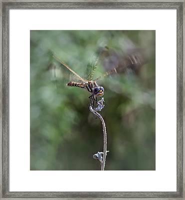 Dragonfly 3 Framed Print