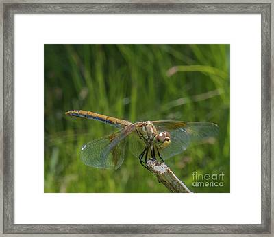 Dragonfly 7 Framed Print
