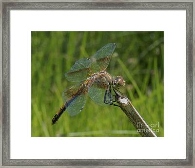 Dragonfly 8 Framed Print