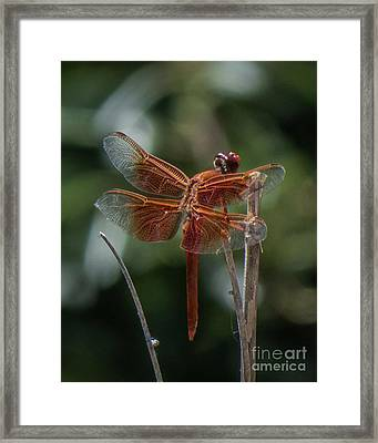 Dragonfly 9 Framed Print