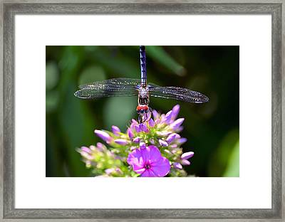 Dragonfly And Phlox Framed Print