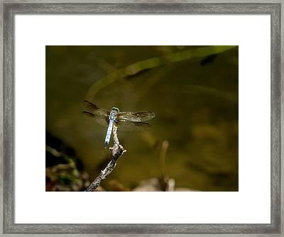 Dragonfly Awaiting Choice Prey Framed Print by Douglas Barnett