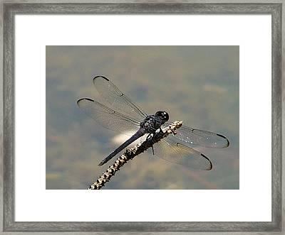 Dragonfly Black Framed Print by Lisa Stanley