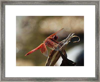 Dragonfly Closeup 1 Framed Print by Richard Stephen