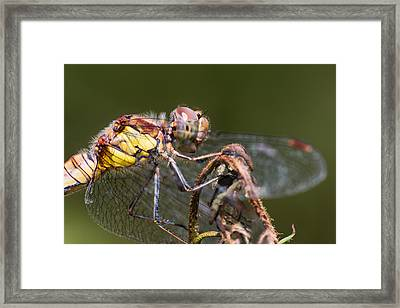 Dragonfly Framed Print by Ian Hufton