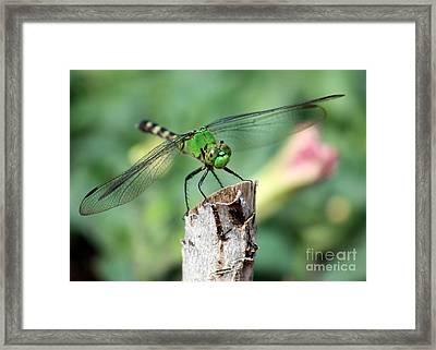Dragonfly In The Flower Garden Framed Print by Carol Groenen