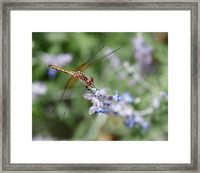 Dragonfly In The Lavender Garden Framed Print by Rona Black