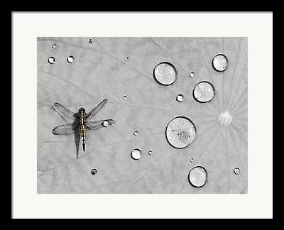 Dragonflies Framed Prints