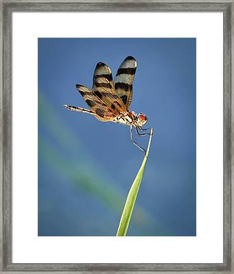 Dragonfly On Blue Framed Print by Dawn Currie