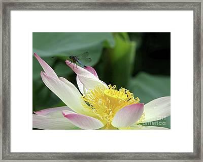 Dragonfly On Lotus Framed Print by Sabrina L Ryan