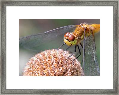 Dragonfly On Monarda Framed Print by Jim Hughes