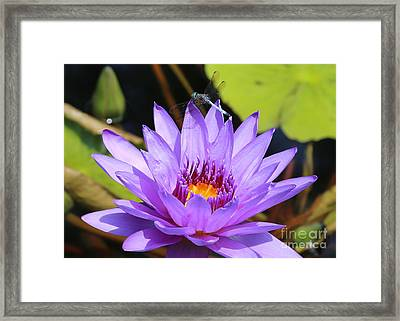 Dragonfly On Water Lily Framed Print by Carol Groenen