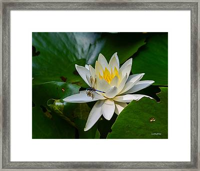 Dragonfly On Waterlily  Framed Print