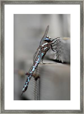 Framed Print featuring the photograph Dragonfly Pause by Cathie Douglas