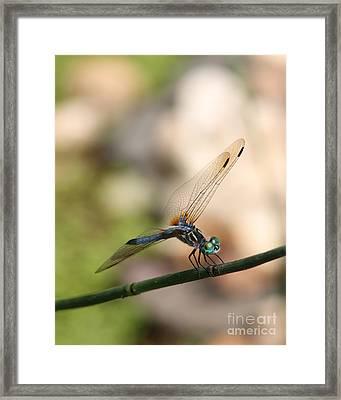 Dragonfly Ref.13 Framed Print by Robert Sander