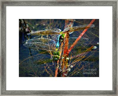 Dragonfly Reflections Planting Young Framed Print by Reid Callaway