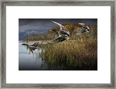 Drake Mallard Ducks Coming In For A Landing Framed Print