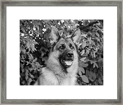 Framed Print featuring the photograph Drake Watching by Sandy Keeton