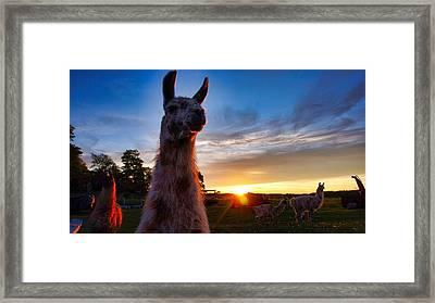 Drama Llamas Framed Print