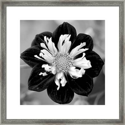 Framed Print featuring the photograph Drama Queen by Corinne Rhode
