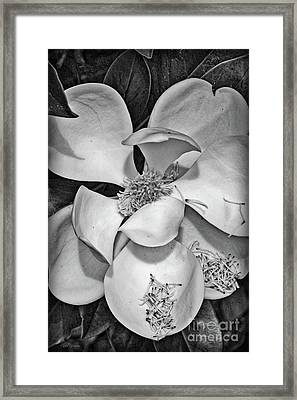 Dramatic Magnolia In Black And White Framed Print by Carol Groenen