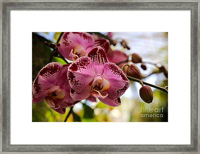 Dramatic Pink Orchid Framed Print by Carol Groenen