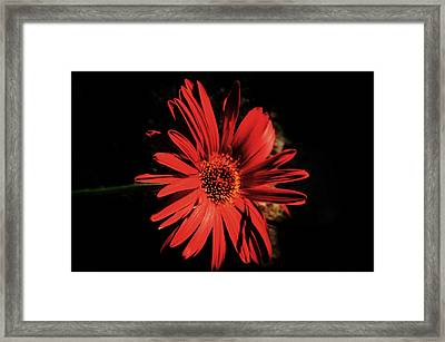 Dramatic Red Daisy Framed Print by Tina M Wenger