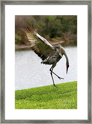Dramatic Sandhill Crane Leap Framed Print by Carol Groenen