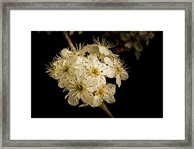 Dramatic Wild Plum Blooms 5536.02 Framed Print