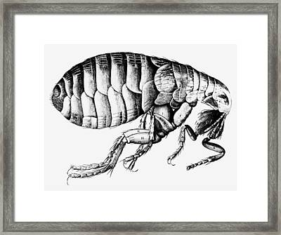 Drawing Of A Flea Framed Print by