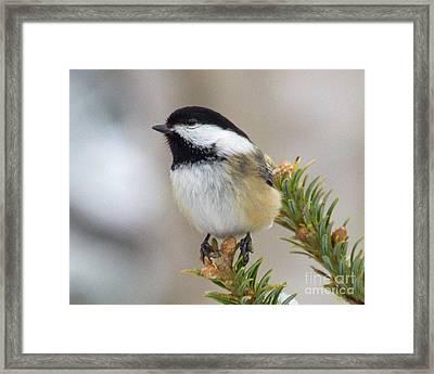 Dreaming Chickadee Framed Print by Lloyd Alexander