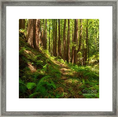 Dreamy California Redwoods Framed Print