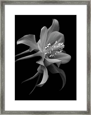 Dreamy Columbine Framed Print