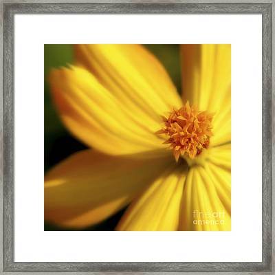 Dreamy Coreopsis Framed Print by Jeannie Burleson