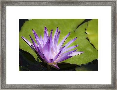 Dreamy Purple Water Lilly Framed Print