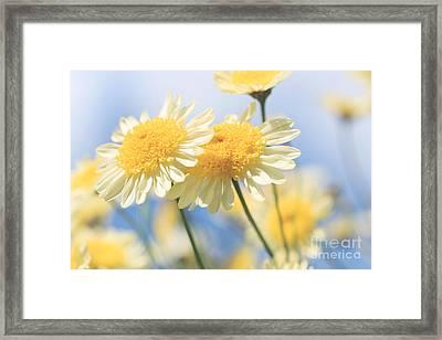 Dreamy Sunlit Marguerite Flowers Against Blue Sky Framed Print